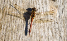 Libelle am Notzenweiher