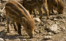 Wildschweinferkel